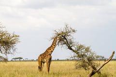 Żyrafy Giraffa w Serengeti parku narodowym Obrazy Stock