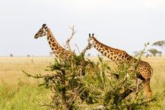 Żyrafy Giraffa w Serengeti parku narodowym Zdjęcie Royalty Free