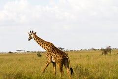 Żyrafy Giraffa w Serengeti parku narodowym Obrazy Royalty Free