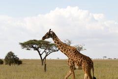 Żyrafy Giraffa w Serengeti parku narodowym Obraz Royalty Free