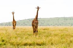 Żyrafy Giraffa w Serengeti parku narodowym Obraz Stock