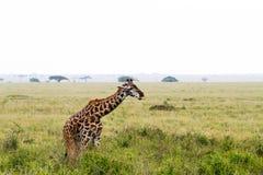 Żyrafy Giraffa w Serengeti parku narodowym Zdjęcia Royalty Free