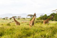 Żyrafy Giraffa w Serengeti parku narodowym Zdjęcia Stock