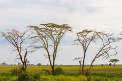 Żyrafy Giraffa w Serengeti parku narodowym Fotografia Royalty Free
