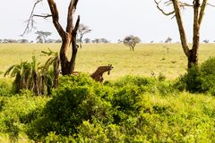 Żyrafy Giraffa w Serengeti parku narodowym Zdjęcie Stock