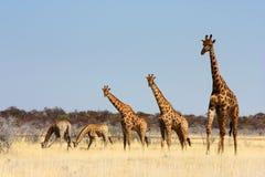 żyrafy grupa Obraz Stock