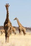żyrafy grupa Fotografia Royalty Free