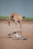 Żyrafy i zebry Obraz Royalty Free