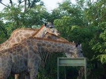 Żyrafy karmi w zambiach Obraz Stock