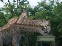 Żyrafy karmi w zambiach Obrazy Royalty Free