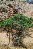 Żyrafy karmienie na niektóre opuszcza zdjęcie royalty free