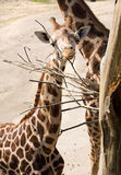 Żyrafy kierowniczego łasowania sucha gałąź Obraz Stock
