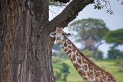żyrafy masai Fotografia Royalty Free