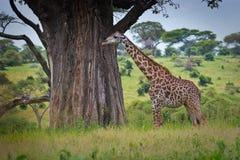 żyrafy masai Zdjęcia Royalty Free