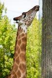 Żyrafy oblizania siatka Zdjęcie Royalty Free