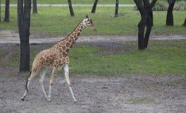 Żyrafy odprowadzenie Fotografia Royalty Free