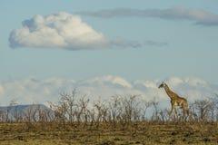 Żyrafy odprowadzenie na horyzoncie zdjęcie stock