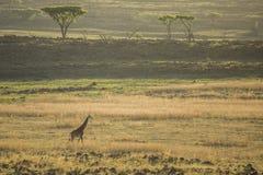 Żyrafy odprowadzenie na horyzoncie fotografia royalty free