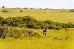 Żyrafy odprowadzenie przez obszarów trawiastych Obraz Royalty Free