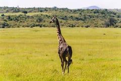 Żyrafy odprowadzenie przez obszarów trawiastych Obraz Stock