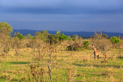 Żyrafy odprowadzenie przez typowego afrykanina krajobrazu Obrazy Royalty Free