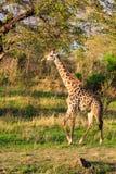 Żyrafy odprowadzenie przez typowego afrykanina krajobrazu Zdjęcia Stock