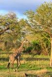 Żyrafy odprowadzenie przez typowego afrykanina krajobrazu Obraz Royalty Free