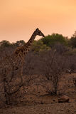 Żyrafy odprowadzenie w Afrykańskiej sawannie podczas zmierzchu, Południowa Afryka Fotografia Stock