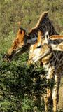 Żyrafy ogryza akacjowego krzaka Zdjęcia Stock