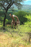 Żyrafy para Obraz Stock
