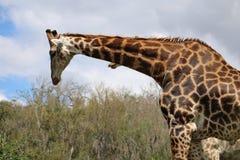 Żyrafy para Zdjęcie Royalty Free