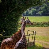 Żyrafy pary oplątania i więzi uczuciowa szyje Zdjęcie Royalty Free