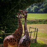 Żyrafy pary oplątania i więzi uczuciowa szyje Zdjęcia Royalty Free