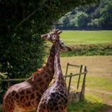Żyrafy pary oplątania i więzi uczuciowa szyje Fotografia Stock