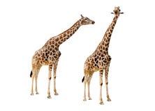 Żyrafy pary wycinanka Fotografia Royalty Free