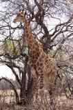 Żyrafy pozycja obok wielkiego drzewa Zdjęcie Royalty Free