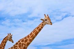 Żyrafy przeciw niebieskiemu niebu Fotografia Stock