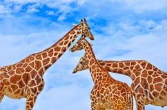 Żyrafy przeciw niebieskiemu niebu Obrazy Stock