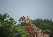 Żyrafy przy obszarami trawiastymi na terenie Ezulwini Gemowa stróżówka Obraz Stock