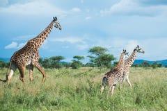 Żyrafy przy Serengeti parkiem narodowym, Tanzania, Afryka Obraz Royalty Free