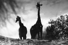 Żyrafy przy waterhole Fotografia Stock