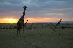 Żyrafy przy zmierzchem w dzikim maasai Mara Zdjęcia Stock