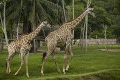 Żyrafy rodzina Obraz Royalty Free