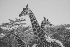 Żyrafy rodzina Zdjęcia Stock