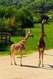 Żyrafy rodzina Zdjęcia Royalty Free