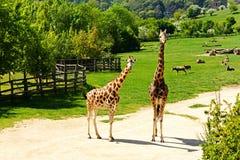 Żyrafy rodzina Obrazy Royalty Free