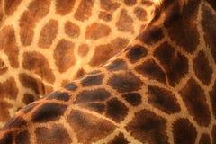 Żyrafy skóra Fotografia Royalty Free