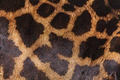 Żyrafy skóra Zdjęcie Stock
