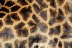 Żyrafy skóra zdjęcie royalty free