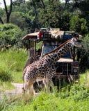 Żyrafy skrzyżowanie zdjęcie stock